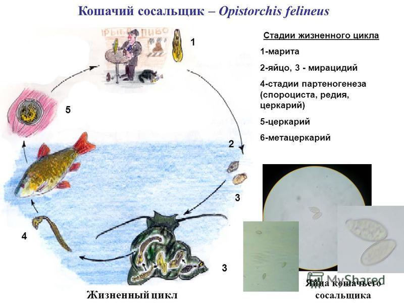 Кошачий сосальщик – Opistorchis felineus Яйца кошачьего сосальщика Жизненный цикл Стадии жизненного цикла 1-марита 2-яйцо, 3 - мирацидий 4-стадии партеногенеза (спорациста, радия, церкарий) 5-церкарий 6-метацеркарий 1 2 3 4 5 3