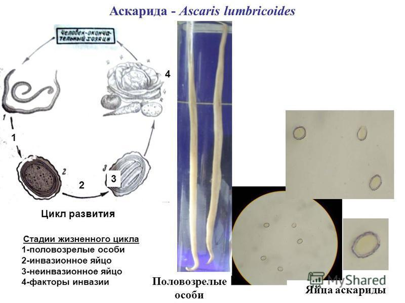 Аскарида - Ascaris lumbricoides Яйца аскариды Цикл развития Стадии жизненного цикла 1-половозрелые особи 2-инвазионное яйцо 3-неинвазионное яйцо 4-факторы инвазии 1 2 3 4 Половозрелые особи