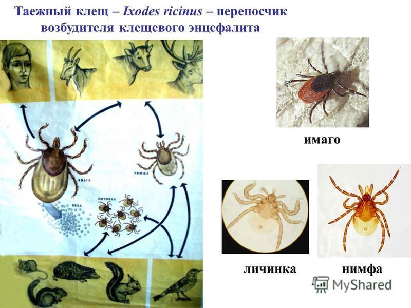 Таежный клещ – Ixodes ricinus – переносчик возбудителя клещевого энцефалита имаго нимфа личинка