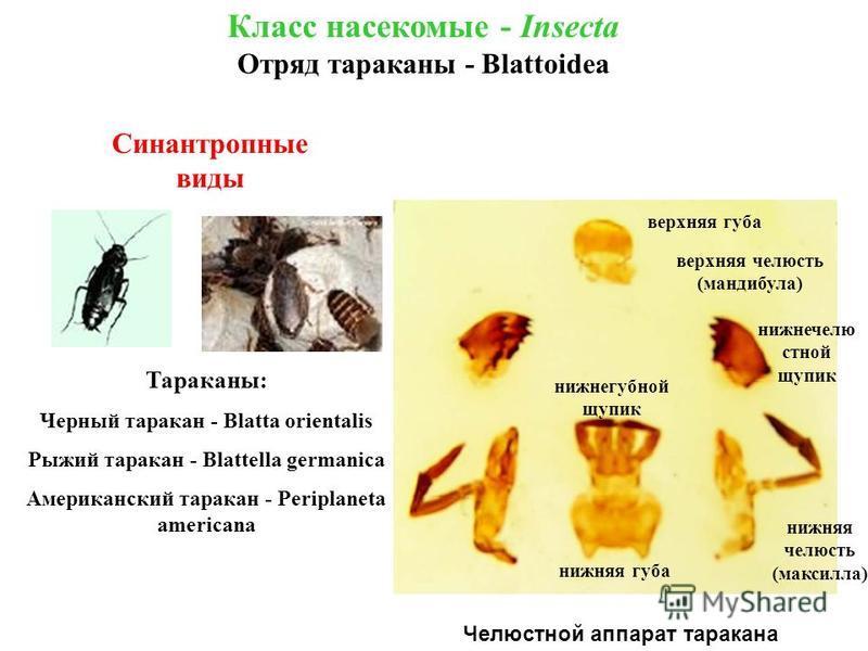Челюстной аппарат таракана Класс насекомые - Insecta Отряд тараканы - Blattoidea Синантропные виды Тараканы: Черный таракан - Blatta orientalis Рыжий таракан - Blattella germanica Американский таракан - Periplaneta americana верхняя губа верхняя челю