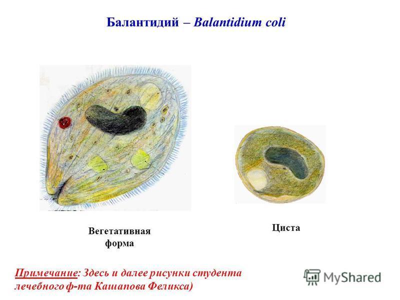 Балантидий – Balantidium coli Циста Вегетативная форма Примечание: Здесь и далее рисунки студента лечебного ф-та Кашапова Феликса)