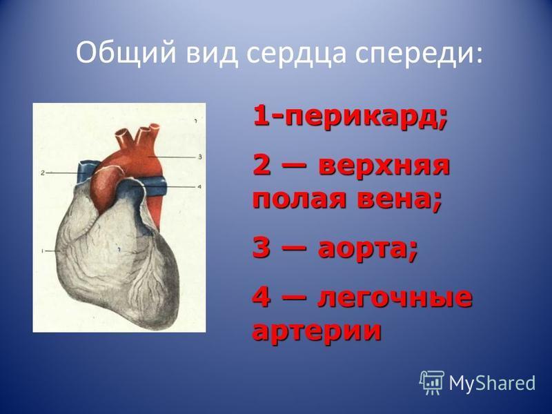 Общий вид сердца спереди: 1-перикард; 2 верхняя полая вена; 3 аорта; 4 легочные артерии
