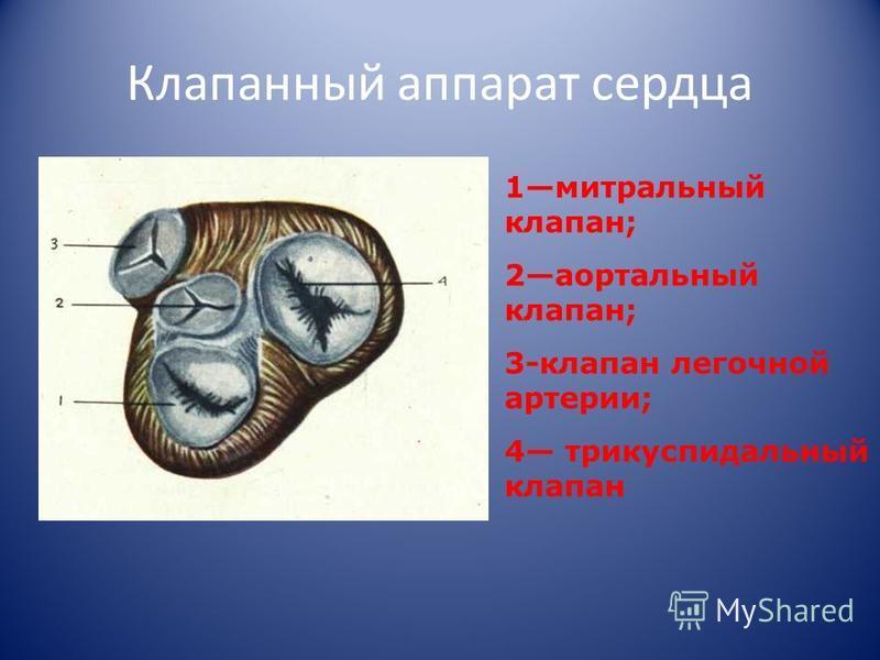 Клапанный аппарат сердца 1 митральный клапан; 2 аортальный клапан; 3-клапан легочной артерии; 4 трикуспидальный клапан