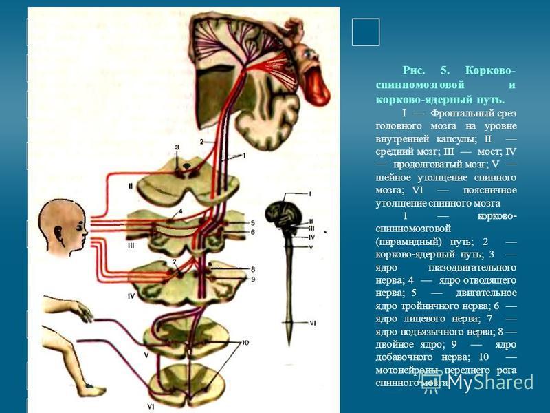 Рис. 5. Корково- спинномозговой и корково-ядерный путь. I Фронтальный срез головного мозга на уровне внутренней капсулы; II средний мозг; III мост; IV продолговатый мозг; V шейное утолщение спинного мозга; VI поясничное утолщение спинного мозга 1 кор