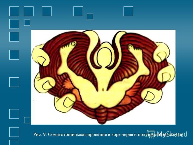 Рис. 9. Соматотопическая проекция в коре червя и полушарии мозжечка.