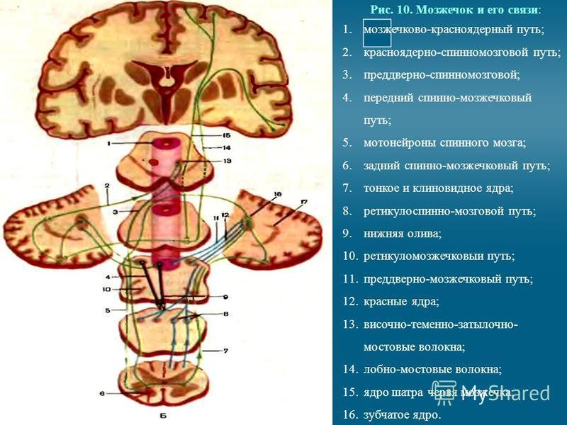 Рис. 10. Мозжечок и его связи: 1.мозжечково-красноядерный путь; 2.красноядерно-спинномозговой путь; 3.преддверно-спинномозговой; 4. передний спинно-мозжечковый путь; 5. мотонейроны спинного мозга; 6. задний спинно-мозжечковый путь; 7. тонкое и клинов