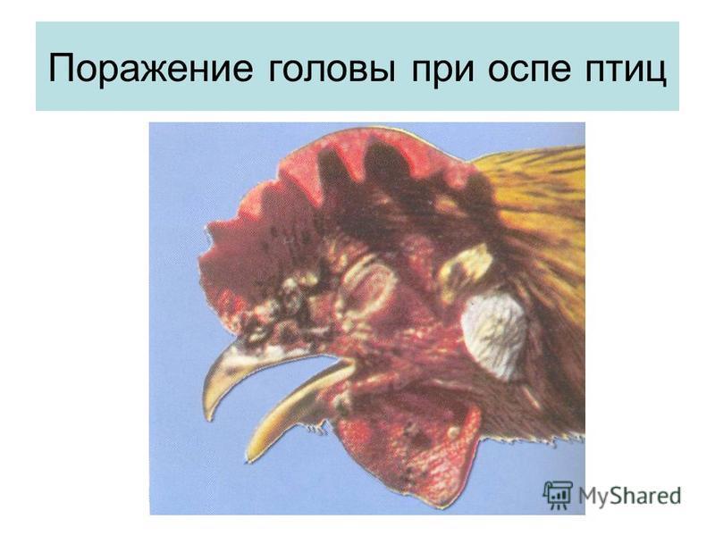 Поражение головы при оспе птиц