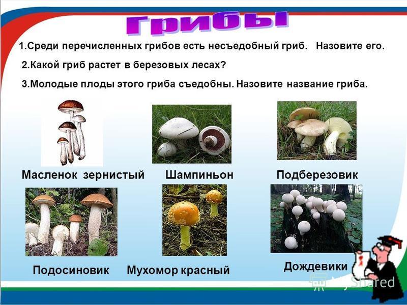Масленок зернистый Шампиньон Подберезовик Подосиновик Мухомор красный 1. Среди перечисленных грибов есть несъедобный гриб. Назовите его. 2. Какой гриб растет в березовых лесах? 3. Молодые плоды этого гриба съедобны. Назовите название гриба. Дождевики