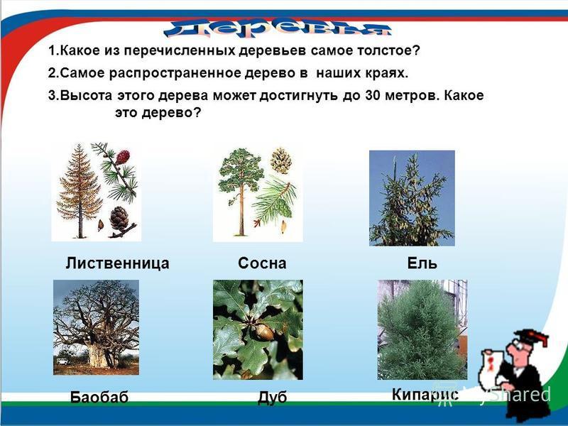 Лиственница Сосна Ель Баобаб Дуб 1. Какое из перечисленных деревьев самое толстое? 2. Самое распространенное дерево в наших краях. 3. Высота этого дерева может достигнуть до 30 метров. Какое это дерево? Кипарис