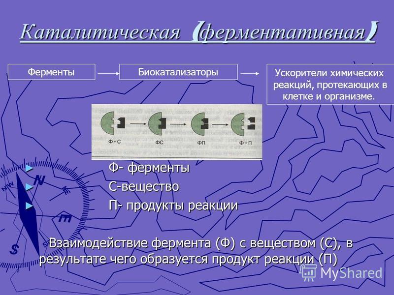 Каталитическая ( ферментативная ) Ф- ферменты С-вещество П- продукты реакции Взаимодействие фермента (Ф) с веществом (С), в результате чего образуется продукт реакции (П) Ферменты Биокатализаторы Ускорители химических реакций, протекающих в клетке и