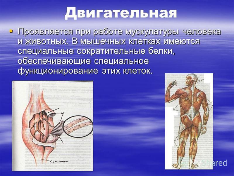 Двигательная Проявляется при работе мускулатуры человека и животных. В мышечных клетках имеются специальные сократительные белки, обеспечивающие специальное функционирование этих клеток. Проявляется при работе мускулатуры человека и животных. В мышеч