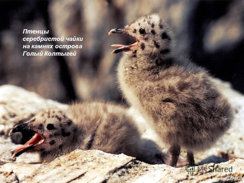 Птенцы серебристой чайки на камнях острова Голый Колтыгей