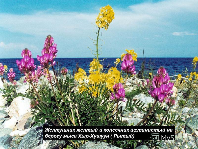 Желтушник желтый и копеечник щетинистый на берегу мыса Хыр-Хушуун ( Рытый)