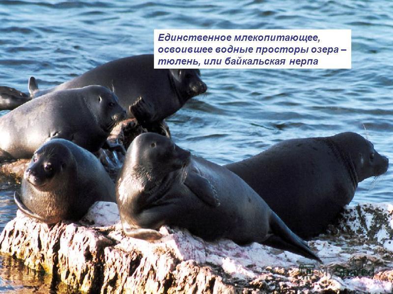 Единственное млекопитающее, освоившее водные просторы озера – тюлень, или байкальская нерпа