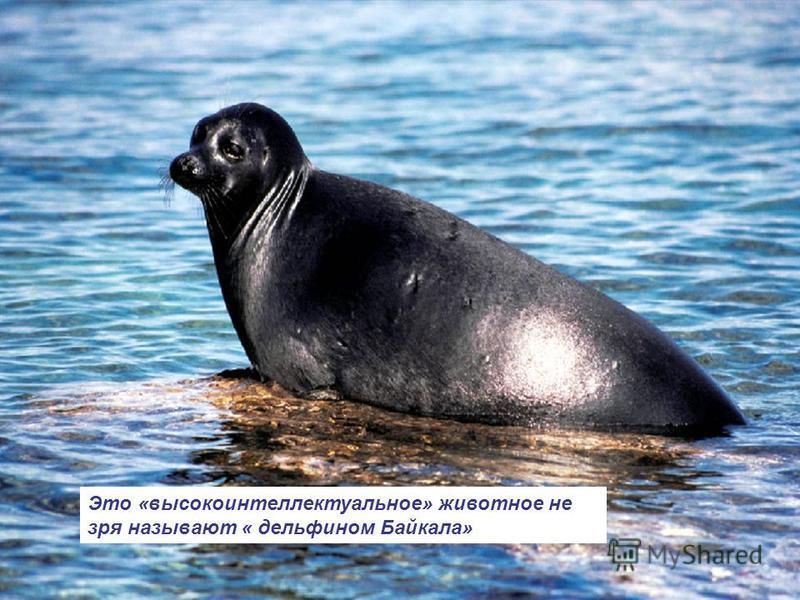 Это «высокоинтеллектуальное» животное не зря называют « дельфином Байкала»