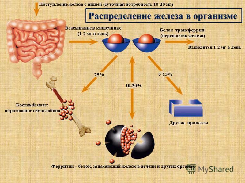 Поступление железа с пищей (суточная потребность 10-20 мг) Всасывание в кишечнике (1-2 мг в день) Белок трансферрин (переносчик железа) Выводится 1-2 мг в день Другие процессы Ферритин – белок, запасающий железо в печени и других органах Костный мозг