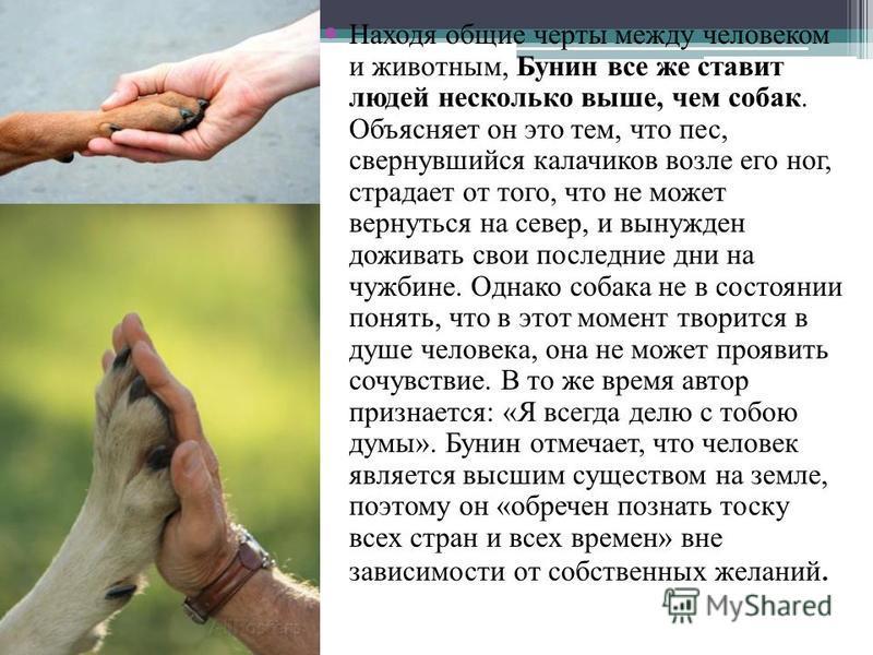 Находя общие черты между человеком и животным, Бунин все же ставит людей несколько выше, чем собак. Объясняет он это тем, что пес, свернувшийся калачиков возле его ног, страдает от того, что не может вернуться на север, и вынужден доживать свои после