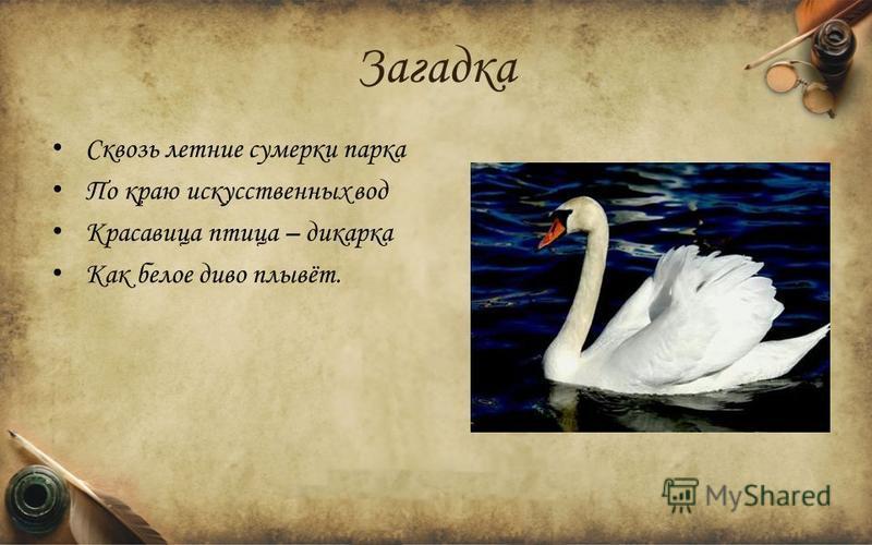 Загадка Сквозь летние сумерки парка По краю искусственных вод Красавица птица – дикарка Как белое диво плывёт.