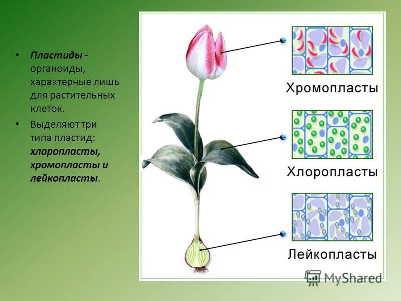Пластиды - органоиды, характерные лишь для растительных клеток. Выделяют три типа пластид: хлоропласты, хромопласты и лейкопласты.