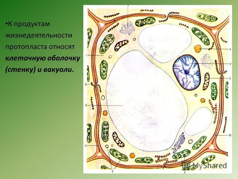 К продуктам жизнедеятельности протопласта относят клеточную оболочку (стенку) и вакуоли.