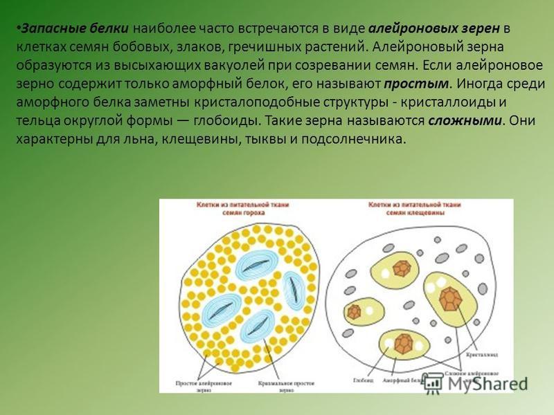 Запасные белки наиболее часто встречаются в виде алейроновых зерен в клетках семян бобовых, злаков, гречишных растений. Алейроновый зерна образуются из высыхающих вакуолей при созревании семян. Если алейроновое зерно содержит только аморфный белок, е