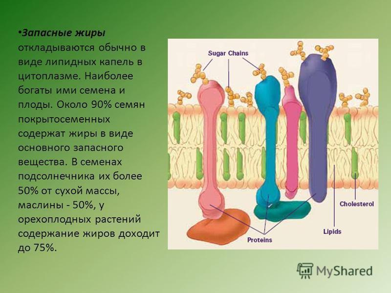 Запасные жиры откладываются обычно в виде липидных капель в цитоплазме. Наиболее богаты ими семена и плоды. Около 90% семян покрытосеменных содержат жиры в виде основного запасного вещества. В семенах подсолнечника их более 50% от сухой массы, маслин