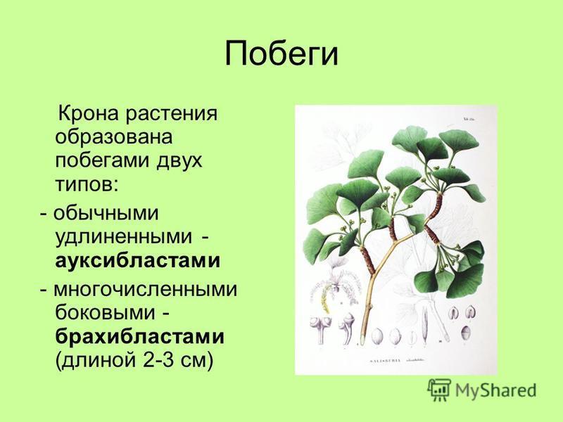 Побеги Крона растения образована побегами двух типов: - обычными удлиненными - ауксибластами - многочисленными боковыми - брахибластами (длиной 2-3 см)