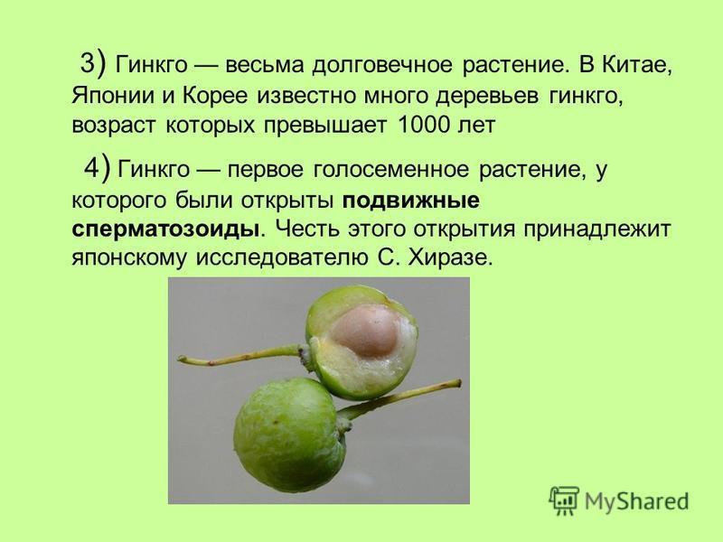 3 ) Гинкго весьма долговечное растение. В Китае, Японии и Корее известно много деревьев гинкго, возраст которых превышает 1000 лет 4 ) Гинкго первое голосеменное растение, у которого были открыты подвижные сперматозоиды. Честь этого открытия принадле