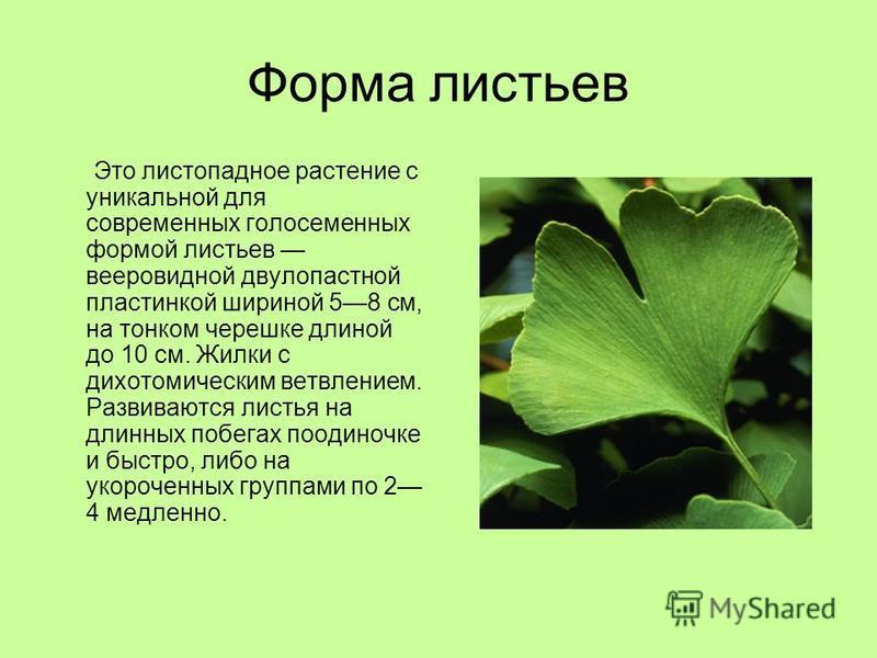 Форма листьев Это листопадное растение с уникальной для современных голосеменных формой листьев вееровидной двулопастной пластинкой шириной 58 см, на тонком черешке длиной до 10 см. Жилки с дихотомическим ветвлением. Развиваются листья на длинных поб