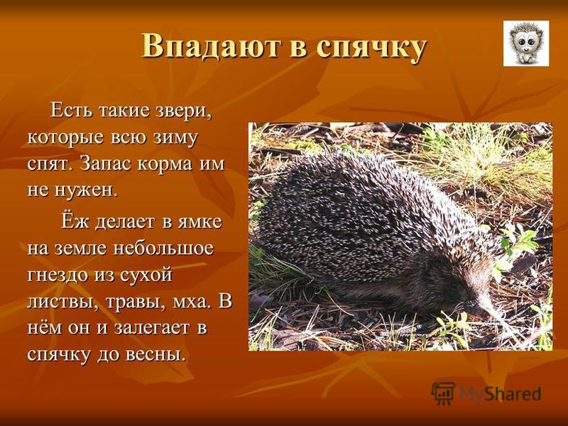 Впадают в спячку Есть такие звери, которые всю зиму спят. Запас корма им не нужен. Есть такие звери, которые всю зиму спят. Запас корма им не нужен. Ёж делает в ямке на земле небольшое гнездо из сухой листвы, травы, мха. В нём он и залегает в спячку