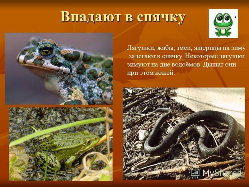 Впадают в спячку Лягушки, жабы, змеи, ящерицы на зиму залегают в спячку. Некоторые лягушки зимуют на дне водоёмов. Дышат они при этом кожей.