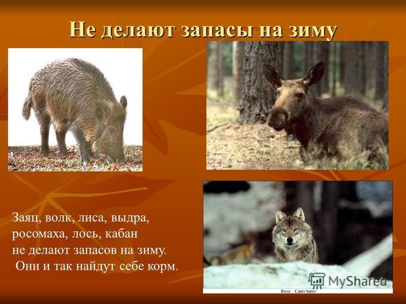 Не делают запасы на зиму Заяц, волк, лиса, выдра, росомаха, лось, кабан не делают запасов на зиму. Они и так найдут себе корм.