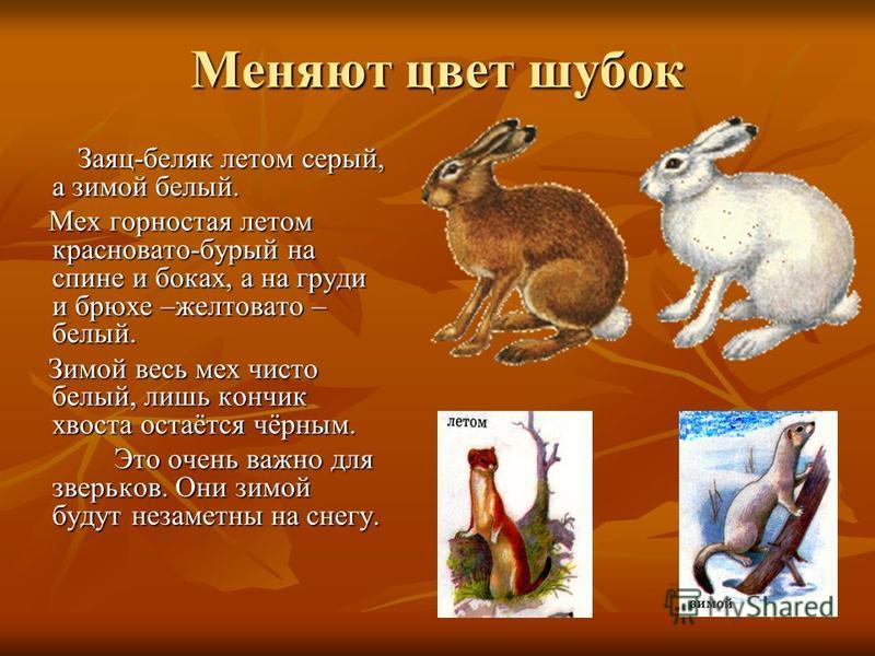 Меняют цвет шубок Заяц-беляк летом серый, а зимой белый. Заяц-беляк летом серый, а зимой белый. Мех горностая летом красновато-бурый на спине и боках, а на груди и брюхе –желтовато – белый. Мех горностая летом красновато-бурый на спине и боках, а на
