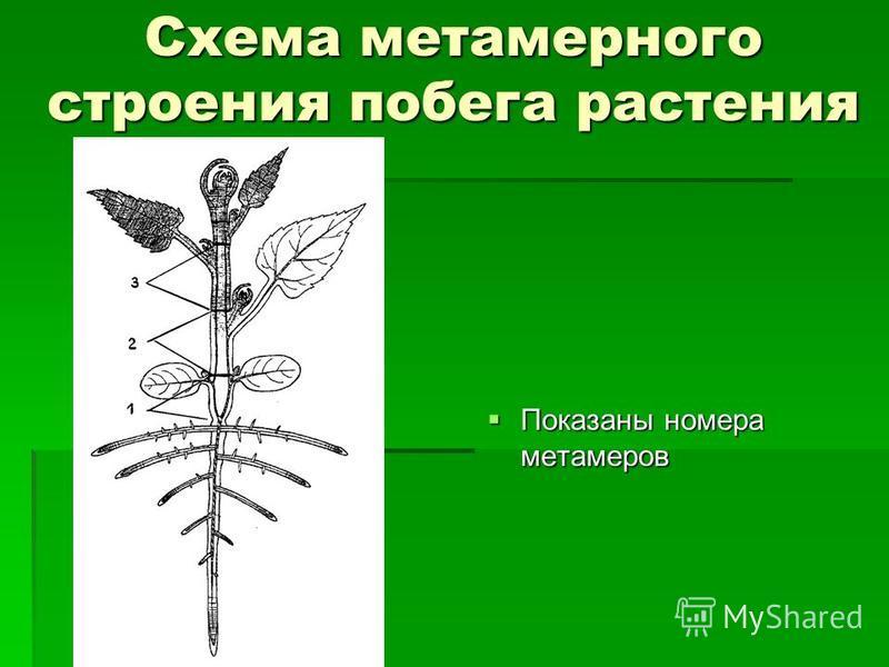 Схема метамерного строения побега растения Показаны номера метамеров Показаны номера метамеров