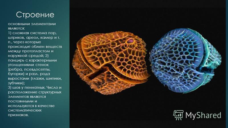 основными элементами являются: 1) сложная система пор, штрихов, ареол, камер и т. п., через которые происходит обмен веществ между протопластом и наружной средой; 2) панцирь с характерными утолщениями стенок (ребра, псевдосепты, бугорки) и разл. рода