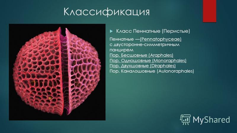 Классификация Класс Пеннатные (Перистые) Пеннатные (Pennatophyceae) с двусторонне-симметричным панцирем Пор. Бесшовные (Araphales) Пор. Одношовные (Monoraphales) Пор. Двухшовные (Diraphales) Пор. Каналошовные (Aulonoraphales)