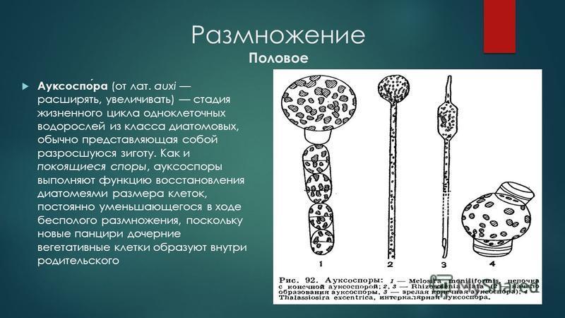 Размножение Половое Ауксоспора (от лат. auxi расширять, увеличивать) стадия жизненного цикла одноклеточных водорослей из класса диатомовых, обычно представляющая собой разросшуюся зиготу. Как и покоящиеся споры, ауксоспоры выполняют функцию восстанов