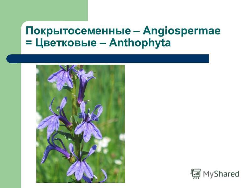 Покрытосеменные – Angiospermae = Цветковые – Anthophyta