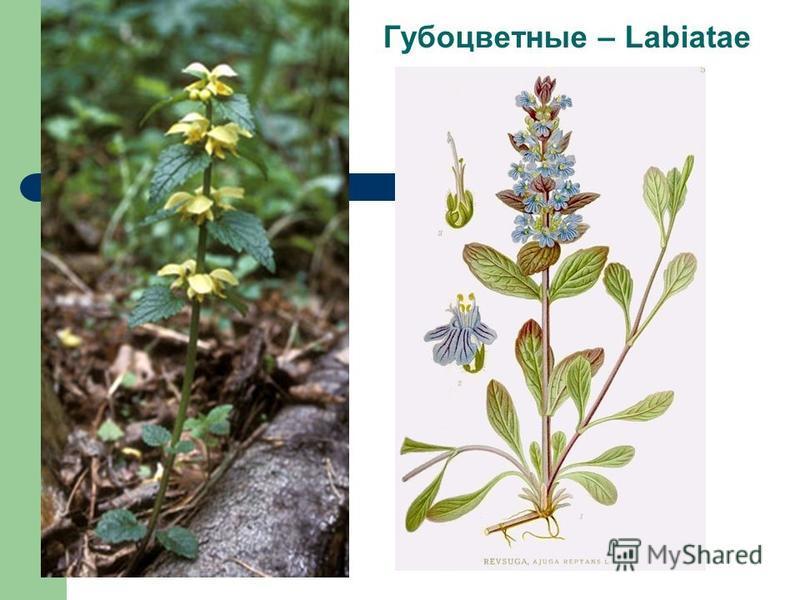 Губоцветные – Labiatae