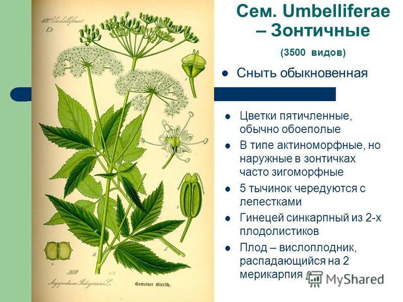 Сем. Umbelliferae – Зонтичные (3500 видов) Сныть обыкновенная Цветки пятичленные, обычно обоеполые В типе актиноморфные, но наружные в зонтичках часто зигоморфные 5 тычинок чередуются с лепестками Гинецей синкарпный из 2-х плодолистиков Плод – вислоп
