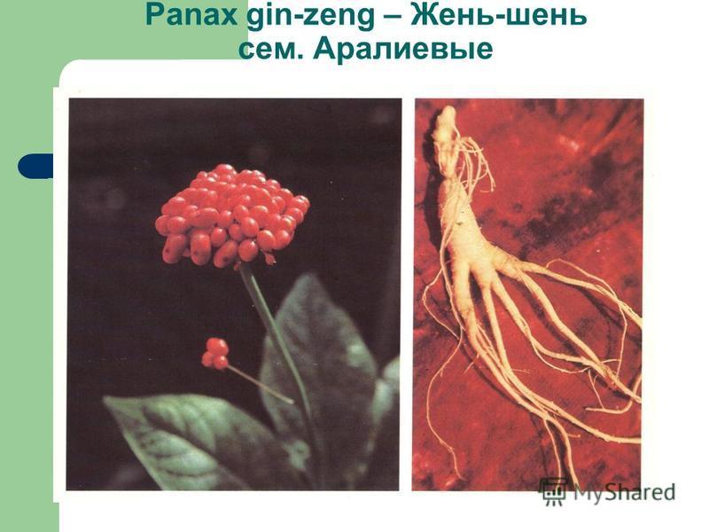 Panax gin-zeng – Жень-шень сем. Аралиевые