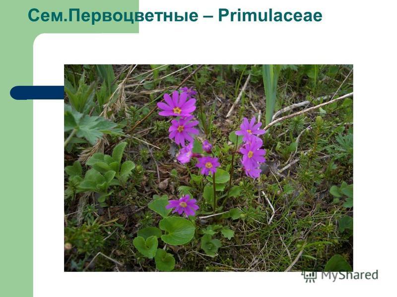 Сем.Первоцветные – Primulaceae