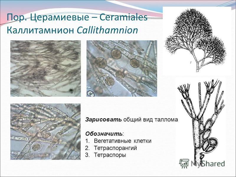 Пор. Церамиевые – Ceramiales Каллитамнион Callithamnion Зарисовать общий вид таллома Обозначить: 1. Вегетативные клетки 2. Тетраспорангий 3.Тетраспоры