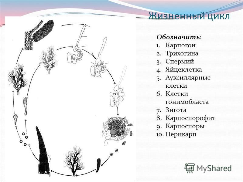 Жизненный цикл Обозначить: 1. Карпогон 2. Трихогина 3. Спермий 4. Яйцеклетка 5. Ауксиллярные клетки 6. Клетки гонимобласта 7. Зигота 8. Карпоспорофит 9. Карпоспоры 10.Перикарп