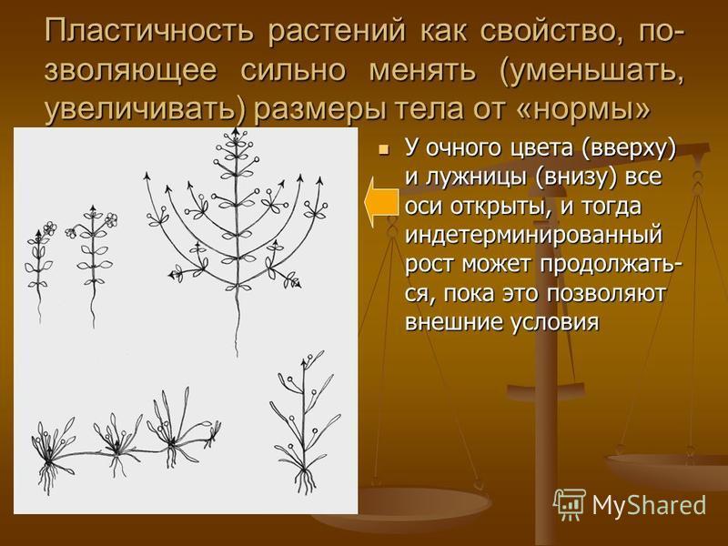 Пластичность растений как свойство, позволяющее сильно менять (уменьшать, увеличивать) размеры тела от «нормы» У очного цвета (вверху) и лыжницы (внизу) все оси открыты, и тогда детерминированный рост может продолжать- ся, пока это позволяют внешние