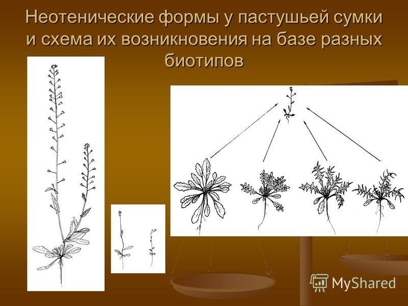 Неотенические формы у пастушьей сумки и схема их возникновения на базе разных биотипов