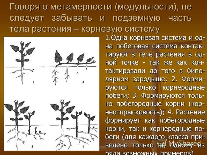 Говоря о метамерности (модульности), не следует забывать и подземную часть тела растения – корневую систему 1. Одна корневая система и од- на побеговая система контактируют в теле растения в од- ной точке - так же как кон- тактировали до того в бипол