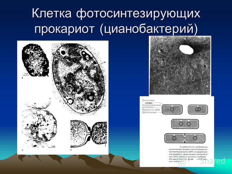Клетка фотосинтезирующих прокариот (цианобактерий)