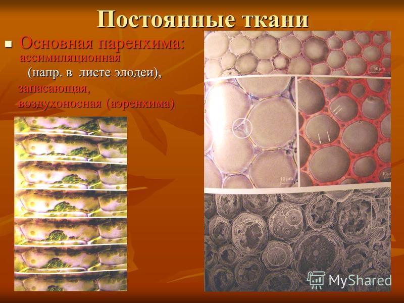 Постоянные ткани Основная паренхима: ассимиляционная Основная паренхима: ассимиляционная (напр. в листе элодеи), (напр. в листе элодеи), запасающая, запасающая, воздухоносная (аэренхима) воздухоносная (аэренхима)