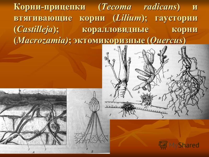 Корни-прицепки (Tecoma radicans) и втягивающие корни (Lilium); гаустории (Castilleja); коралловидные корни (Macrozamia); эктомикоризные (Quercus)